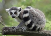 A lemur, one of the many animals in Madagascar
