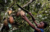 Children cutting down cocoa pods to collect
