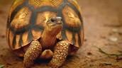 Ploughshare Tortoise: Critically Endangered