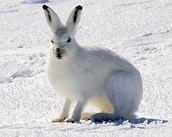 ארנב השלג