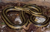 Rat snake #3