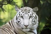 Carnivore:  Snow Leopard: