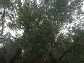 Ti Tree at McCrae Beach