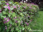 full grow hyacinth bean plant