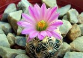 What's with the Nellie Cory Cactus?