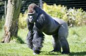 A male in a quadrupedal posture