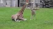 Giraffes Exhibit