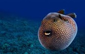 Blow fish pic