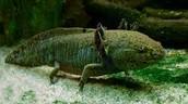 Blackish-green Axolotl