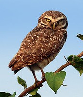The Burrowing Owl by Cole Allamena