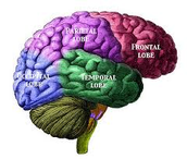 The 5/6 lobes of the brain