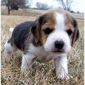 Beagle... Again, sorry... I just love em'