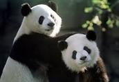Cloned panda bears