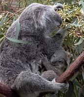 גור קואלה עם אמו
