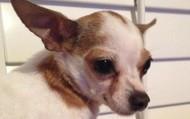 Kenai -- 7 year old Chihuahua -- 4 lbs