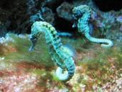Sea horses pair