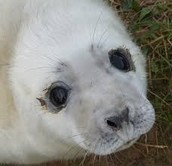 About the Grey Seals