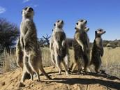 Meerkats Attack