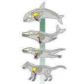 evolución de los delfines
