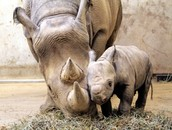 Black Rhinos and their young