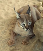 Caracal in its habitat