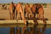 Camels water