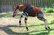 """""""Is it a horse? A zebra? A giraffe? No, it's an Okapi!"""""""