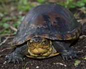 white lipped turtle