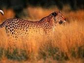 jaguar in savannah