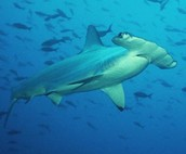 SWIMMING HAMMERHEAD SHARK