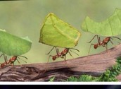 Ants working
