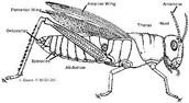 External Anatomy of a Grasshopper