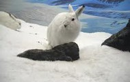 Come visit Angel our Arctic hare who jumps 5.3 feet high