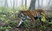 Tiger in habbit