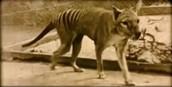 Tasmanian Tigers in the Wild
