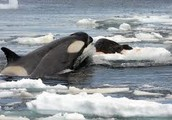 What is a Killer Whale ?