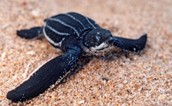 Leatherback Turtle Importance
