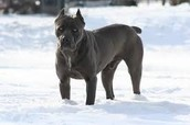 cane corso male full grown