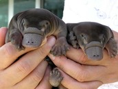 Baby Platypuses