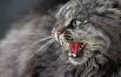 Hissing feral cat