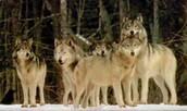 A pack of fully-grown wolves