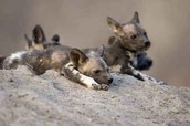 Facts about a african wild dog are their habitat, diet , behaviors, and what they look like!