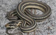 Salt Marsh Water Snake (Nerodia clarkii)