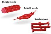 Muscular Tissue