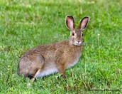 Snowshoe Hare in the Summer