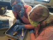 Rachael and Polly investigating the anatomy of their frog
