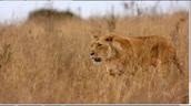Lion walking through tall grass.