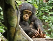 Scared chimp
