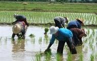 Thailand's Rice Farms
