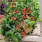 Fully Grown Tomatoes